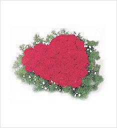 心系母亲鲜花一束(66枝红色康乃馨+绿色配草)