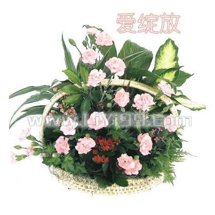 康乃馨,绿宝石,一帆风顺,文竹等绿植盆栽组合花篮一个